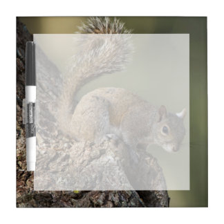 Eastern Gray Squirrel, or grey squirrel Dry Erase Board