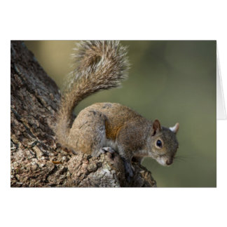 Eastern Gray Squirrel, or grey squirrel Greeting Card