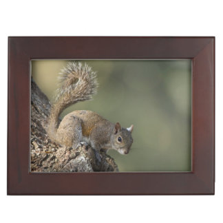 Eastern Gray Squirrel, or grey squirrel Keepsake Box