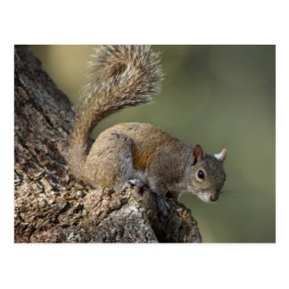 Eastern Gray Squirrel, or grey squirrel Postcard