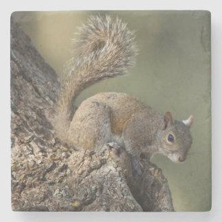 Eastern Gray Squirrel, or grey squirrel Stone Coaster
