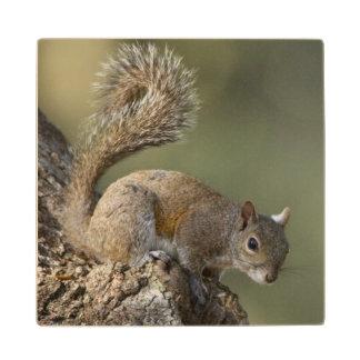 Eastern Gray Squirrel, or grey squirrel Wood Coaster