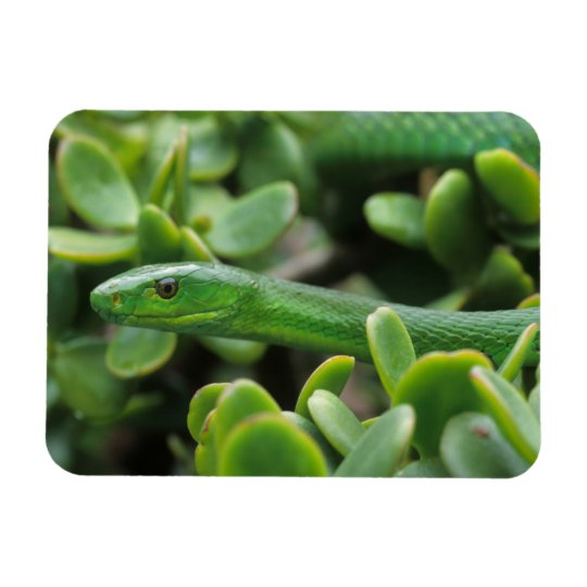 Eastern Green Mamba (Dendroaspis Angusticeps) Rectangular Photo Magnet