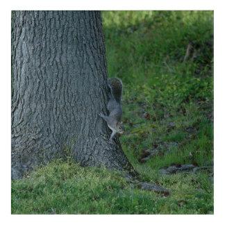 Eastern Grey Squirrel, Acrylic Print. Acrylic Print