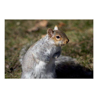 Eastern grey squirrel  posters