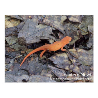 Eastern Newt Postcards