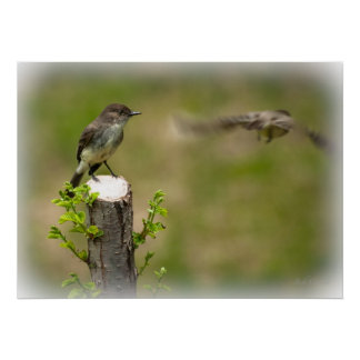 Eastern Phoebe Male and Female Poster