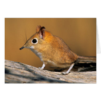 Eastern Rock Elephant Shrew on lo Card