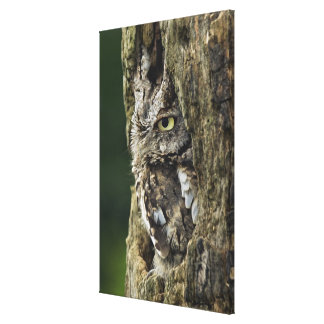 Eastern Screech Owl (Gray Phase) Otus asio Canvas Print