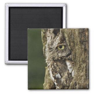 Eastern Screech Owl Gray Phase) Otus asio, Magnet