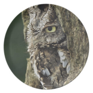 Eastern Screech Owl (Gray Phase) Otus asio Plate