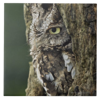 Eastern Screech Owl (Gray Phase) Otus asio Tile