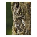 Eastern Screech Owl Grey Phase) Otus asio, Postcard