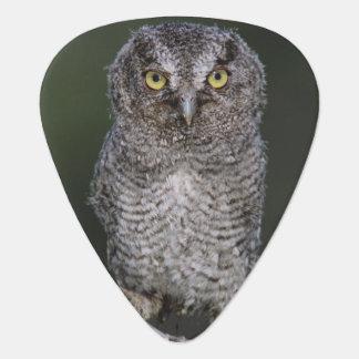 Eastern Screech-Owl, Megascops asio, Otus 2 Plectrum
