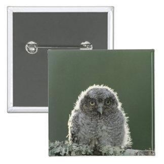 Eastern Screech-Owl, Megascops asio, Otus 3 15 Cm Square Badge
