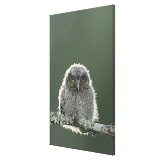 Eastern Screech-Owl, Megascops asio, Otus 3 Canvas Print