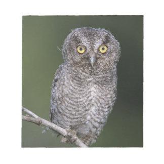 Eastern Screech-Owl, Megascops asio, Otus Notepad