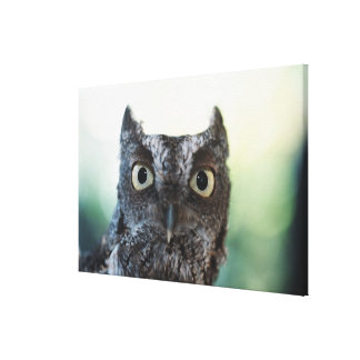 Eastern Screech Owl Portrait Showing Large Eyes Canvas Print