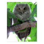 Eastern Screech Owl Post Cards