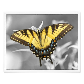 Eastern SwallowTail Pop Photograph