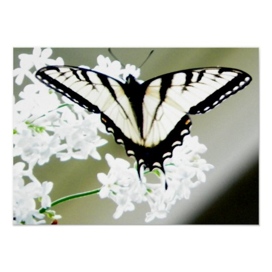Eastern Tiger Swallowtail Butterfly Photo Poster