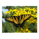 Eastern Tiger Swallowtail on Yellow Daisies Postcard