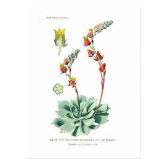 Echeveria secunda postcard