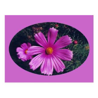 Echinacea - postcard