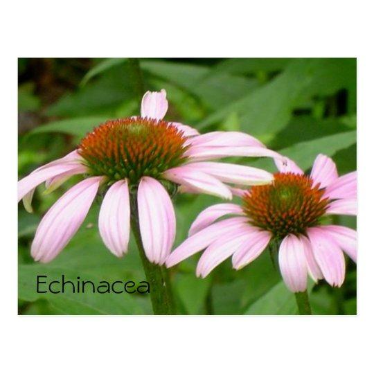 Echinacea Postcard