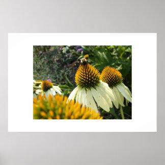 Echinacea w bumblebee posters