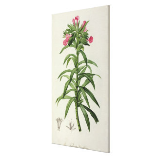 Echium Grandiflorum Canvas Print