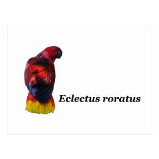 Eclectus roratus postcard