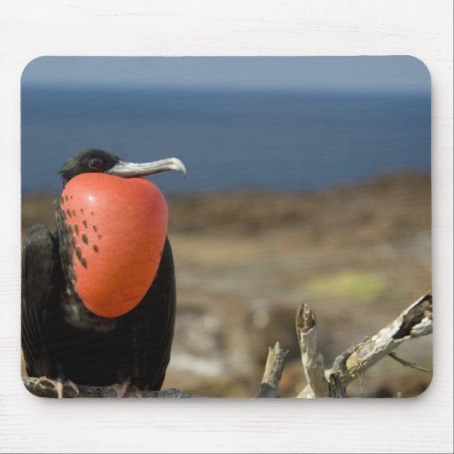 Ecuador, Galapagos, Genovesa Island. Prince Mousepad
