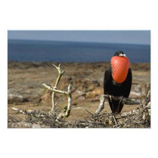 Ecuador, Galapagos, Genovesa Island. Prince Photo Print