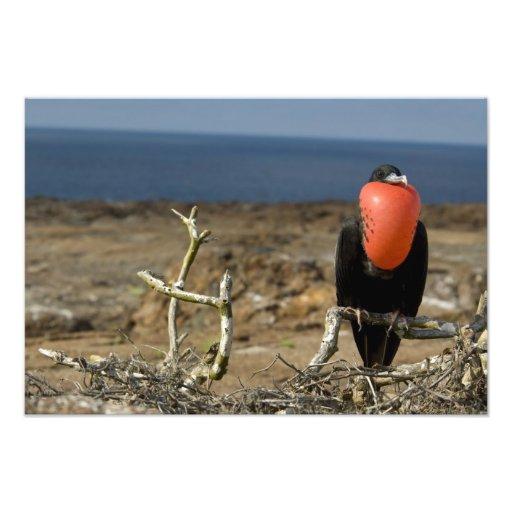 Ecuador, Galapagos, Genovesa Island. Prince Photographic Print