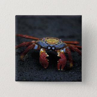 Ecuador, Galapagos Islands, Sally Lightfoot 15 Cm Square Badge