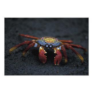 Ecuador, Galapagos Islands, Sally Lightfoot Art Photo