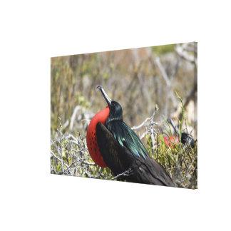 Ecuador, Galapagos, North Seymour. Great Canvas Print