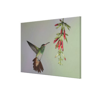 Ecuador, Tandayapa Bird Lodge. Rufous-tailed Canvas Print