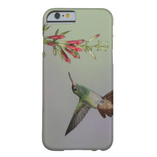 Ecuador, Tandayapa Bird Lodge. Rufous-tailed Barely There iPhone 6 Case