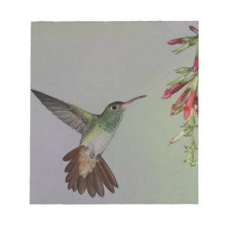 Ecuador, Tandayapa Bird Lodge. Rufous-tailed Notepad
