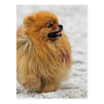 Edgrrrr #3 - Pomeranian Post Cards