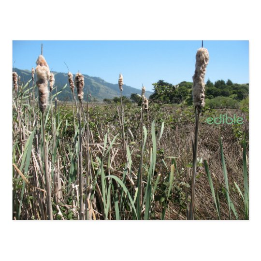 edible cattail postcard