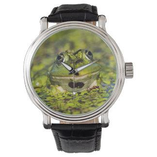 Edible Frog in the Danube Delta Watch