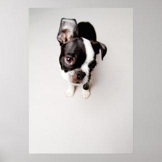 Edison Boston Terrier puppy. Poster