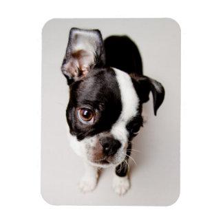 Edison Boston Terrier puppy. Rectangular Photo Magnet