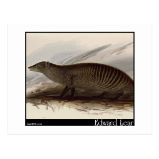 Edward Lear's Banded Mongoose Postcard