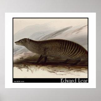 Edward Lear's Banded Mongoose Print