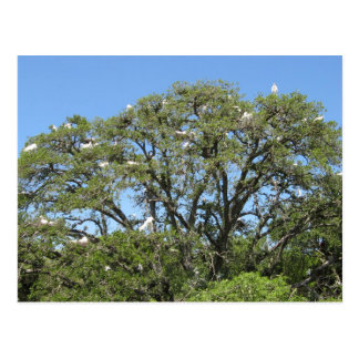 Egrets in a Tree Postcard