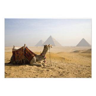 Egypt, Cairo. A lone camel gazes across the Art Photo